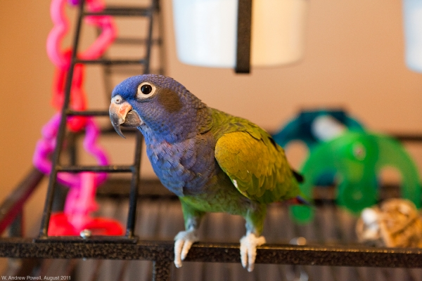 Mr. Logan - my parrot