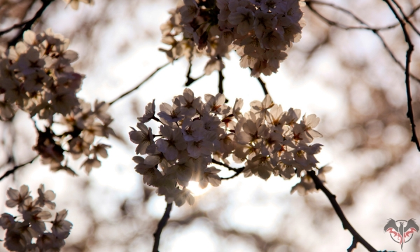 Back-lit blossoms