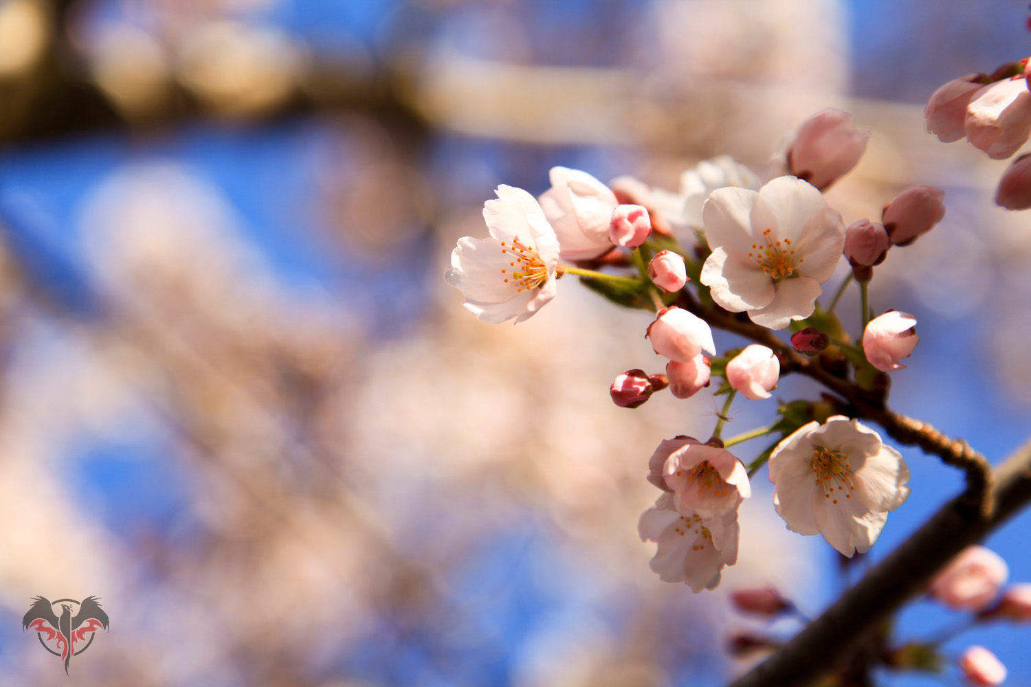 In bloom: High Park cherry blossoms